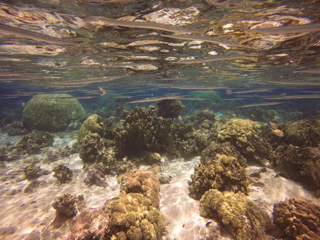 Trumpet Fish in Ofu Beach American Samoa