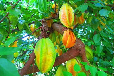 Villa Temehani Raiatea accommodation - star fruit