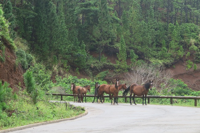 Wild horses Nuku Hiva Marquesas Islands French Polynesia
