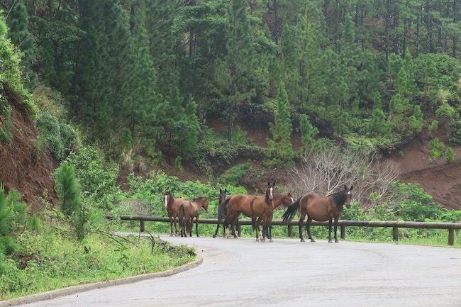 Wild horses Nuku Hiva Marquesas Islands French Polynesia