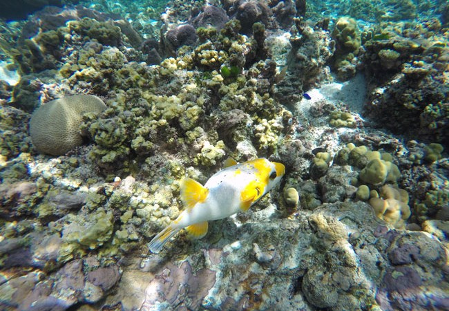 Yellow and white tropical fish in Ofu Beach American Samoa