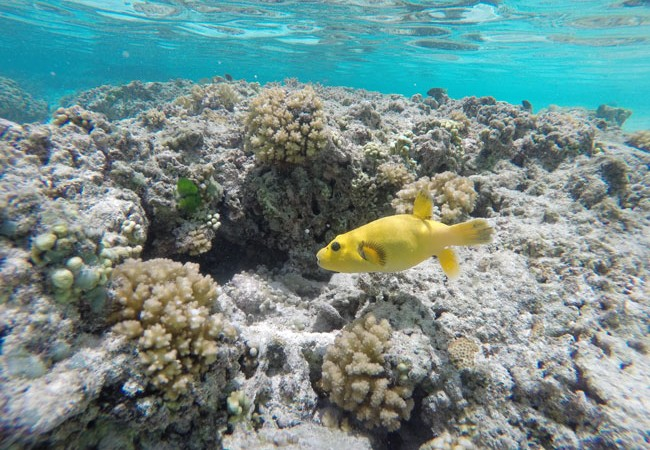 Yellow tropical fish in Ofu Beach American Samoa