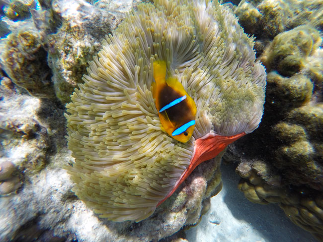 clown fish in coral garden le tahaa luxury resort french polynesia