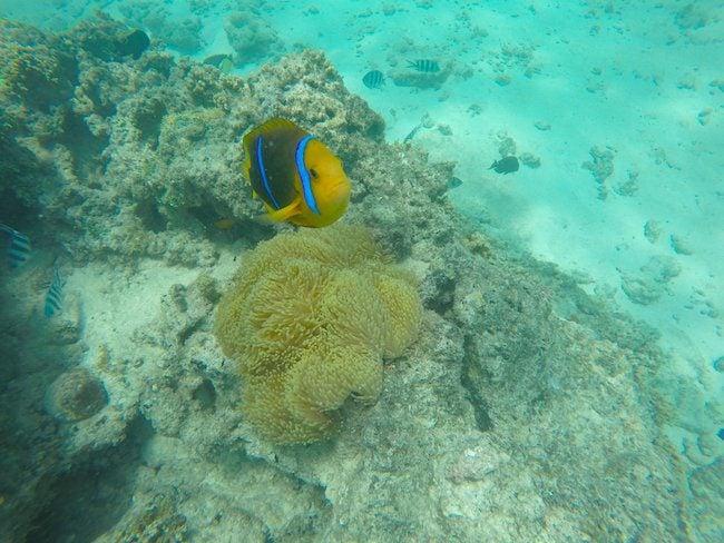 clown-fish-in-fare-beach-snorkeling-Huahine