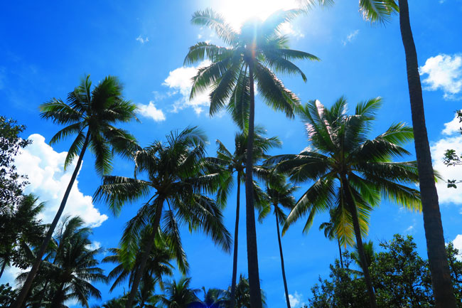 coconut trees on tropical beach le tahaa luxury resort french polynesia