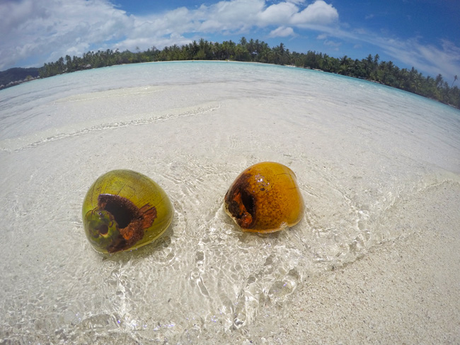 coconuts on tropical beach at le tahaa luxury resort french polynesia