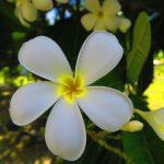 gardenia tiare flower fakarava atoll french polynesia