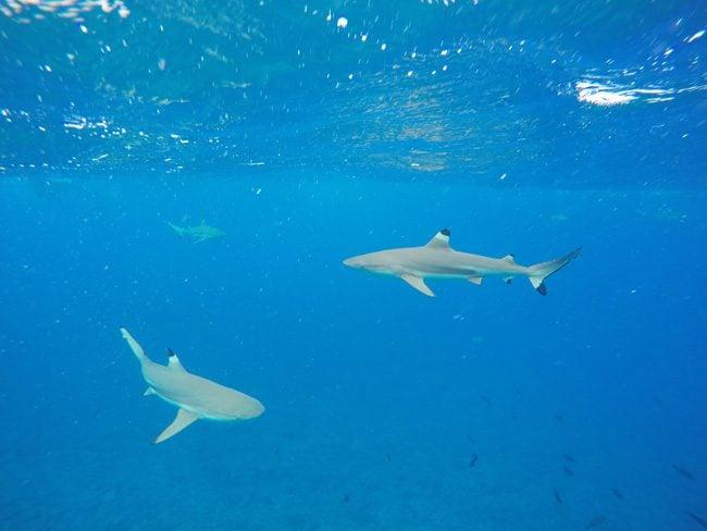 lagoon tour bora bora french polynesia black tip reef sharks