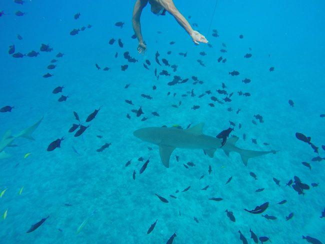 lagoon tour bora bora french polynesia didi getting close to lemon shark