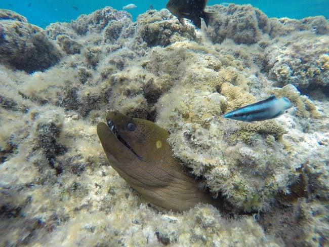 lagoon tour bora bora french polynesia moray eel closeup 1