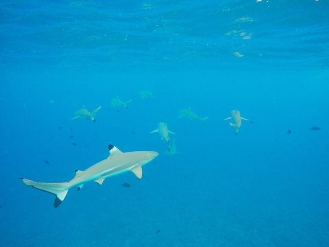 lagoon tour bora bora french polynesia reef sharks feeding
