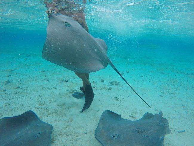 lagoon tour bora bora french polynesia stingray