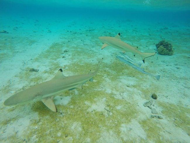 lagoon tour in bora bora french polynesia closeup of reef sharks