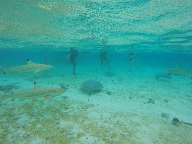 lagoon tour in bora bora french polynesia feeding sharks and stingrays
