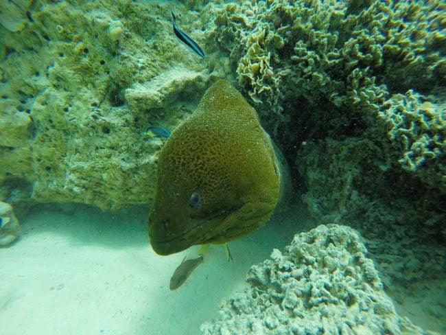 lagoon tour in bora bora french polynesia moray eel closeup 2