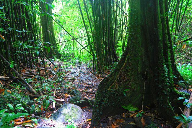 les trois cascades three waterfalls Raiatea Island French Polynesia mape and bamboo trees