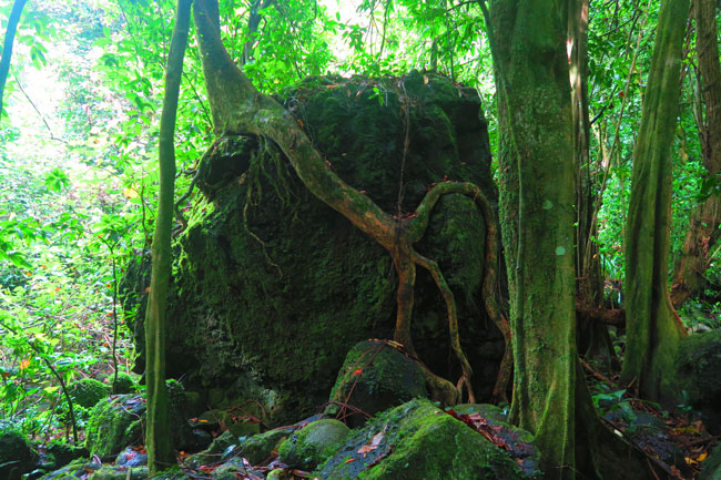 les trois cascades three waterfalls Raiatea Island French Polynesia tree taking over rock