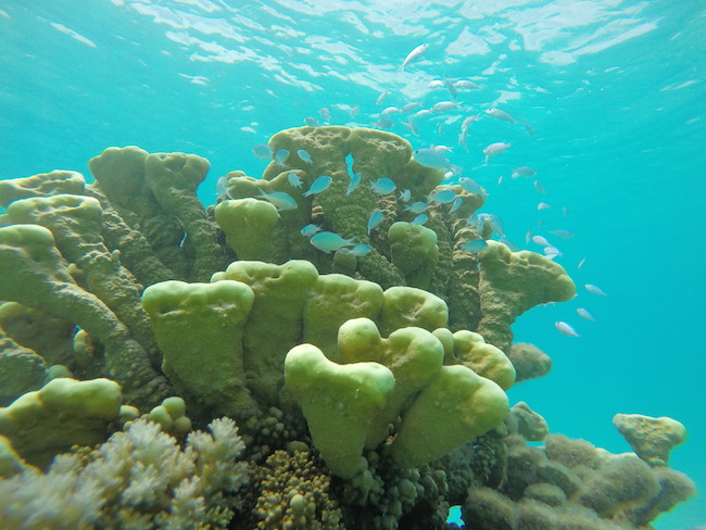 snorkeling-PK9-beach-fakarava-yellow-coral
