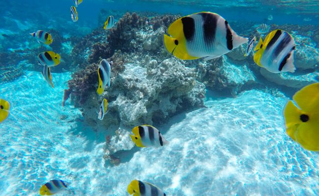 tropical fish in coral garden le tahaa luxury resort french polynesia