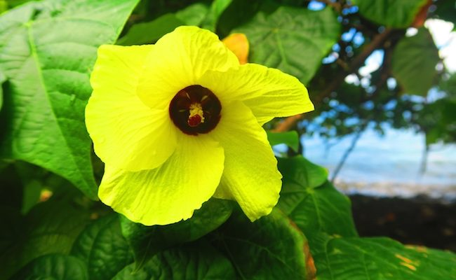 wild hibiscus - hiva oa
