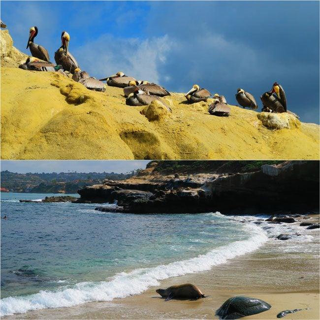 La-Jolla-Cove-San-Diego-pelicans-and-seals