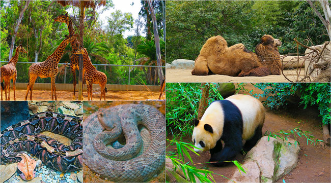 San-Diego-Zoo-Animal-Collage