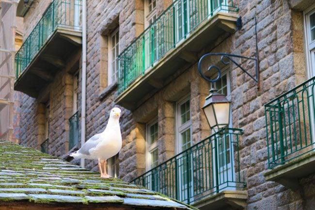 bird in old city saint malo
