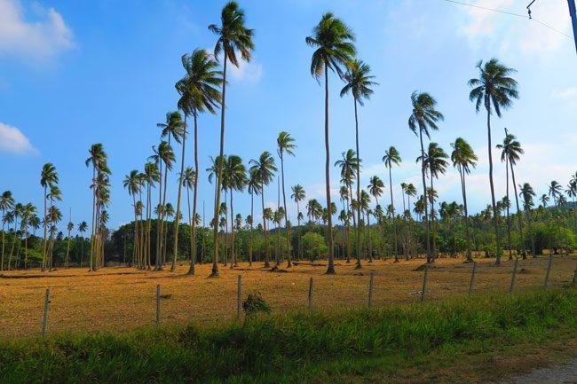 Espiritu Santo East Coast Vanuatu Palm Tress