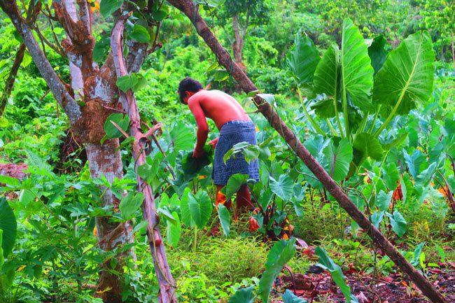 Making Umu in Samoa collecting taro leaves