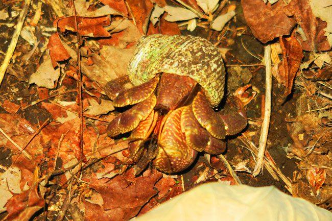 Namua Island Samoa coconut crab
