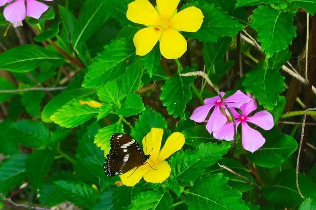 Butterflies in Vaoto Lodge Ofu Island American Samoa