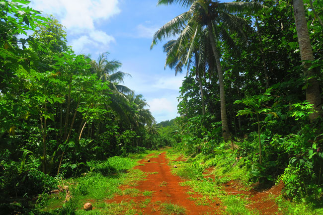 Coconut grove on way to Tumu Mountain in Ofu Island American Samoa
