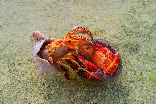 Crabs mating in Aitutaki Cook Islands