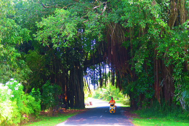 Driving through giant banyan tree in Aitutaki Cook Islands