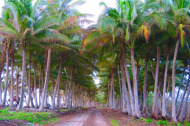 Falealupo Peninsula wild parm trees Savaii Samoa