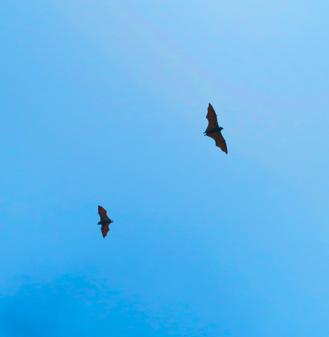 Flying Fox bats in American Samoa