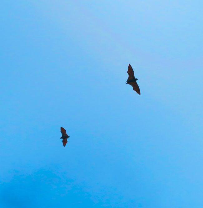 Flying Fox bats in American Samoa