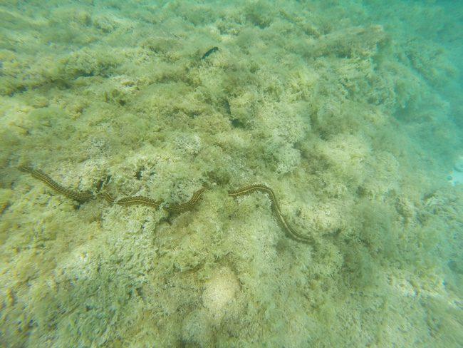 Four meter long giant sea work in Aitutaki lagoon Cook Islands