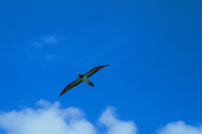 Friagte Bird over Oge Beach in American Samoa