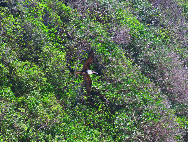 Frigate Bird in Olosega Island American Samoa