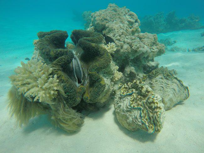 Giant clam in Aitutaki lagoon Cook Islands