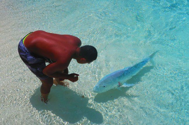 Giant travelly fish feeding