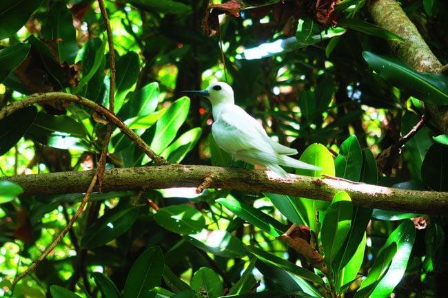Motu Rakau Bird in Aitatki cook islands