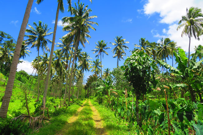 Mount Matavanu approach - palm trees