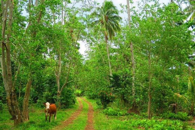 Mount Matavanu - cow