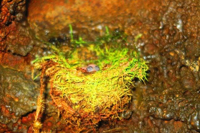 Peapea Cave Polynesian Swiftlet