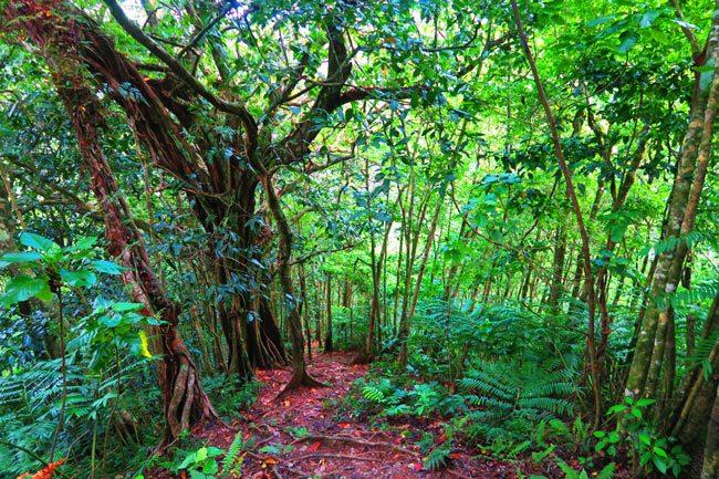 Cros Island Track Rarotonga Cook Islands thick rainforest