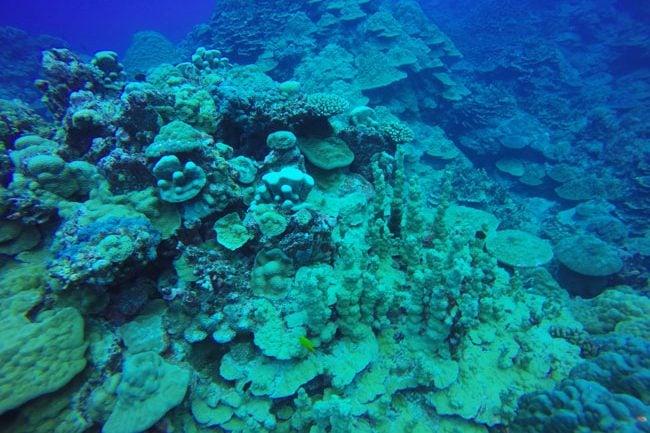 Diving in Rarotonga Cook Islands hard coral garden