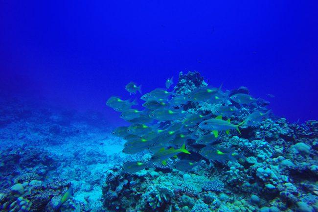 Diving in Rarotonga Cook Islands school of fish