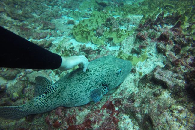 Diving in Rarotonga Cook Islands touching puffer fish